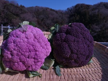 紫カリフラワー2種